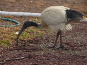 Ibis un étrange oiseau australien