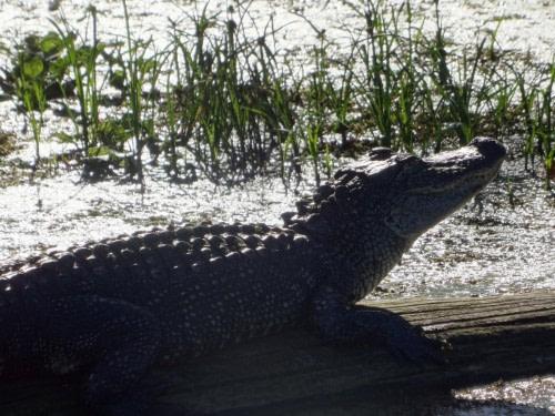 Sur la route de Lafayette Alligator du Lake Martin