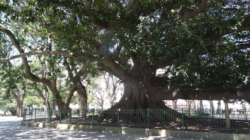 Magnolia géant place San Martin