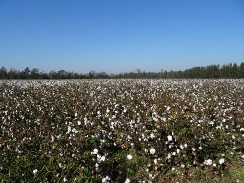 Un champ de coton sur la route de Savannah