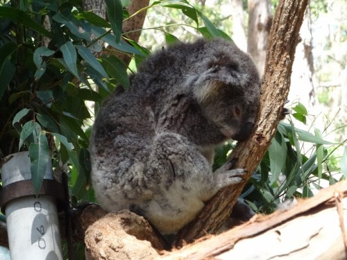 Port Macquarie hôpital des koalas