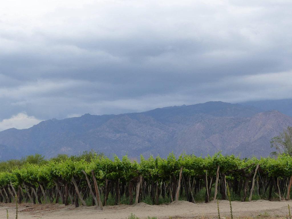 Vignes de Cafayatte