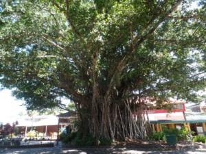 Rue de Kuranda bordée d'arbres emprisonnés par des figuiers