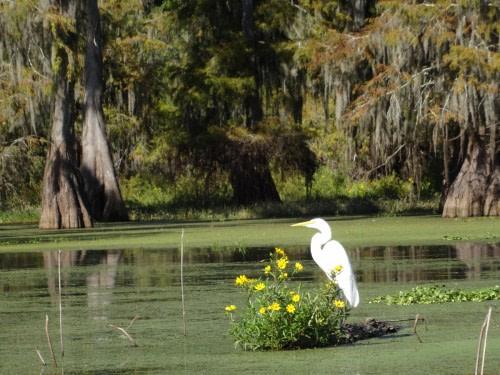 Sur la route de Lafayette Eau stagnante du bayou de Lake Martin et la faune